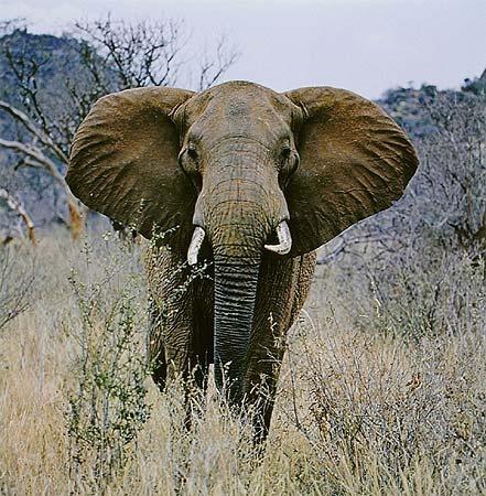 Elephant, Tsavo West, Kenya, August 23, 1970