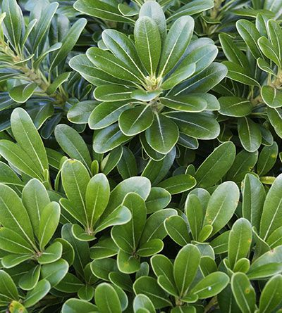 Pittosporum tobira 'Wheeler's Dwarf' basic evergreen shrub, low compact, good green background plant