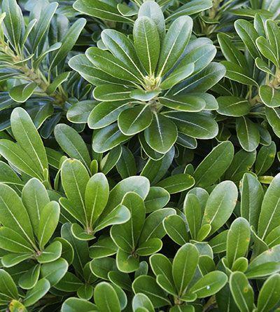 Pittosporum tobira 'Wheeler's Dwarf' basic evergreen shrub, low compact, good green background plant