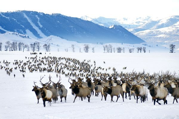 National Elk Refuge, Wyoming Photograph by Ted Wood, Aurora The National Elk Refuge in Jackson, Wyoming, is the winter home to the largest elk herd in the U.S. Visitors can view the elk from a car, on foot, or on a horse-drawn sleigh ride. (We did this back in the early 80's with our oldest son, well worth the time!) #KMGLIFE