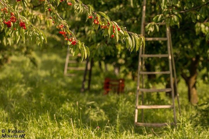 La raccolta delle ciliege, Pecetto Torinese, foto di Valerio Minato pH
