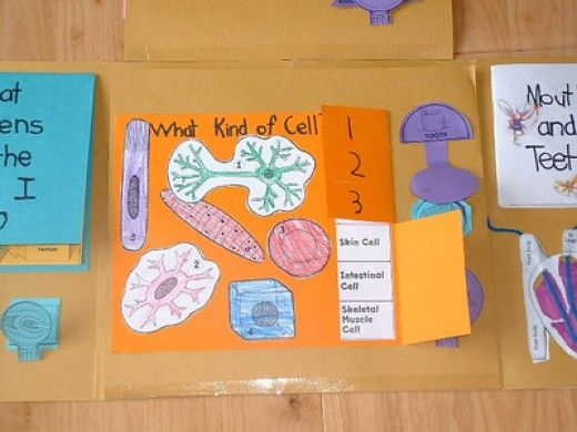 When you study the human body for a homeschool science unit, create a lapbook do document what you learn.