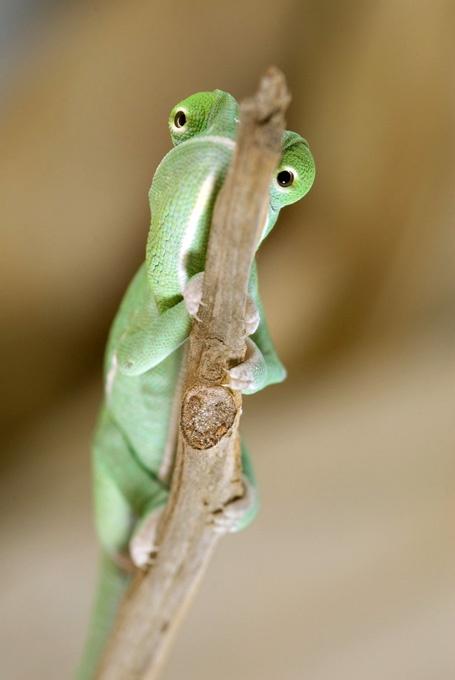 name cute chameleon - photo #42