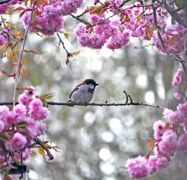 sparrow in blossoms | bird + wildlife photography