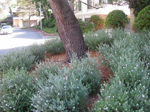 Australian rosemary (Westringia fruticosa) thrives under a pine tree.