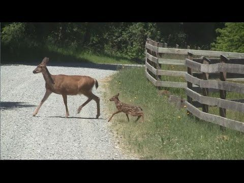 19 Best Images About Baby Deer Videos On Pinterest Odd