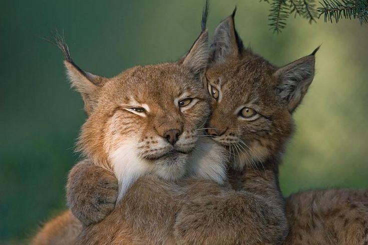 bobcat hugs