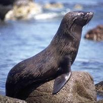 LOBO MARINO (Animales de la Costa del Perú)