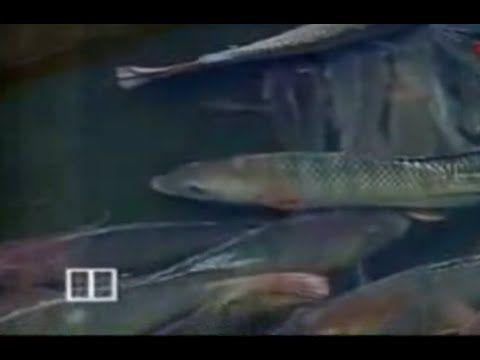 Budidaya Ikan Nila, Cara ternak ikan nila, beternak ikan nila. ikan nila merupakan ikan yang sangat mudah untuk di budidaya. tidak seperti ikan yang lain pad...