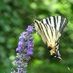 machaon sur une lavande. Les pesticides sont interdits chez nous, nous broyons les végétaux , éclaircissons la forêt d'une manière écologique , et la nature nous ne rend bien , Roque rouge est envahis par des nuées de papillons en été, d'abeilles, de sphinx moros, libellules , de lézards verts, mantes religieuses et de vers luisants !