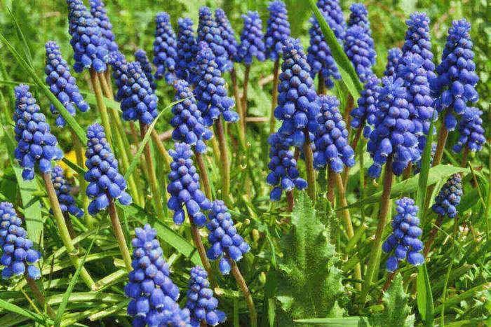 türkischer Flieder Wildflieder Syringa vulgaris