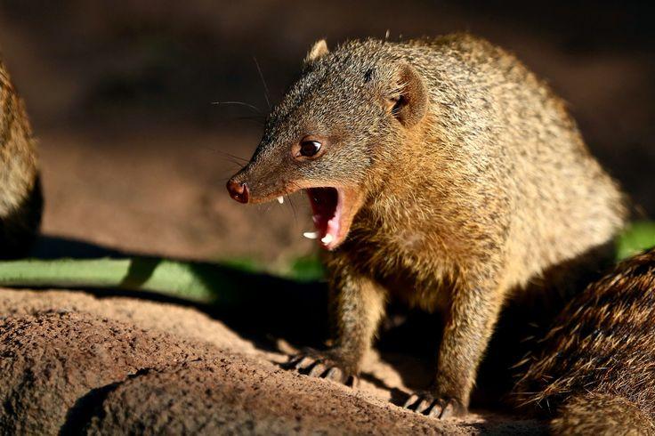 https://flic.kr/p/nHbprt | Zoo park Itatiba - Mangustu Tigrado | Itatiba, SP, Brazil  by Julio Lima