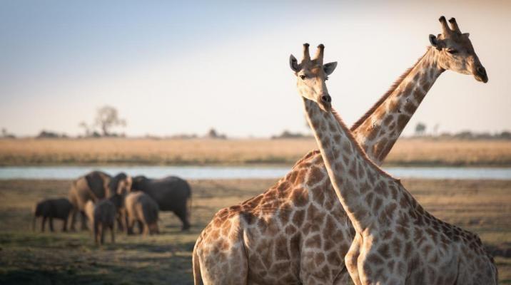 Giraffer og elefanter i Botswana