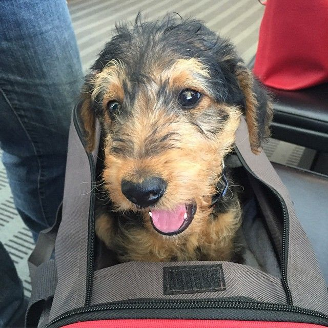 1000+ images about Airedale on Pinterest  Airedale terrier, Service dogs and Diy dog