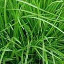 Barley Grass barley powder