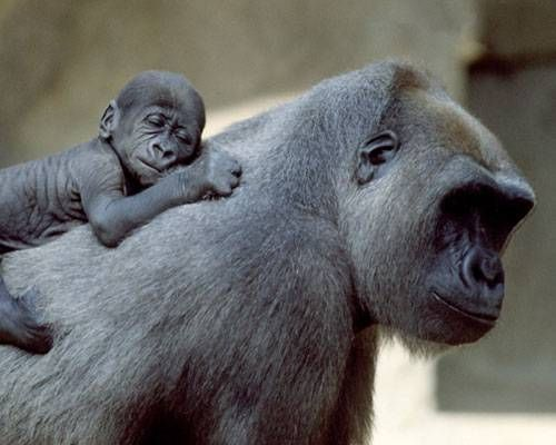 Human mothers have a relatively long gestation period compared to the rest of the animal kingdom, but a few animal mothers go even further. Here's our list of t