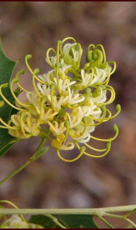 Grevillea angulata #flowers #australia