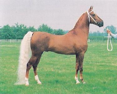 American Saddlebred.