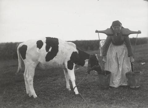 Vrouw, gekleed in de streekdracht van Terschelling, met een kalf. Ze draagt de daagse dracht. De vrouw draagt twee emmers aan een juk. Over de muts draagt ze een 'zwarte kap'. Deze kaper is typerend voor de dracht op de waddeneilanden. 1918-1941 vanAgtmaal #Friesland #Terschelling