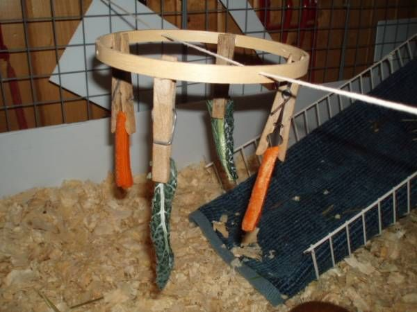 Cool Toy for piggies! It's an embriodery hoop with clothes pins hot glued in place. Then the person drilled a hole in each side of the hoop and threaded string through it. So it moves when the pigs eat the food. Good exercise and super cheap.