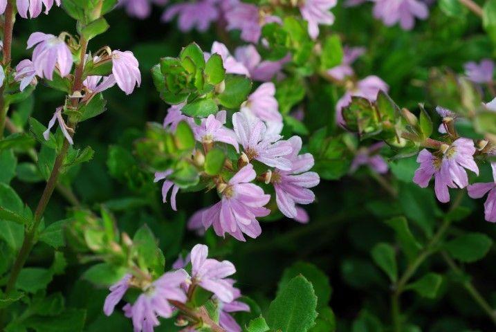 Scaevola Fan Magic Pink Minx --- For more Australian native plants visit austraflora.com