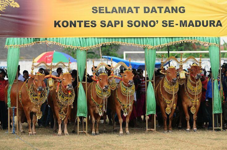 IlPost - Una gara di bellezza per mucche, tra le principali attrazioni della festa di Sapi Sonok a Madura, in Indonesia. (Robertus Pudyanto/Getty Images)