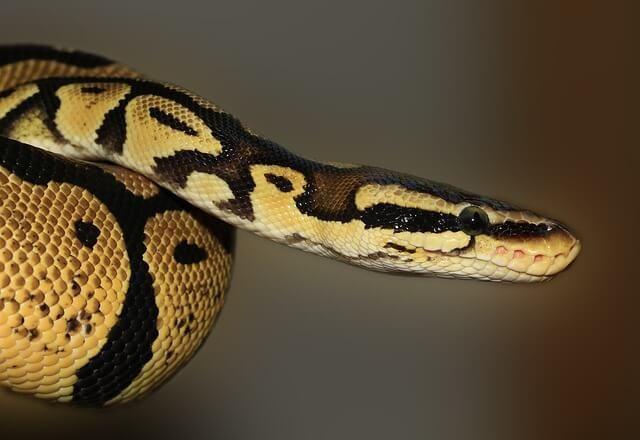 Sonhar Com Cobras Significado Sonhar Com Cobras Cobra De