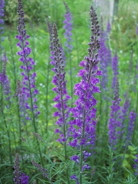 Linaria Purpurea - finally I know what the 'weed' I've loved since I was a child is called!