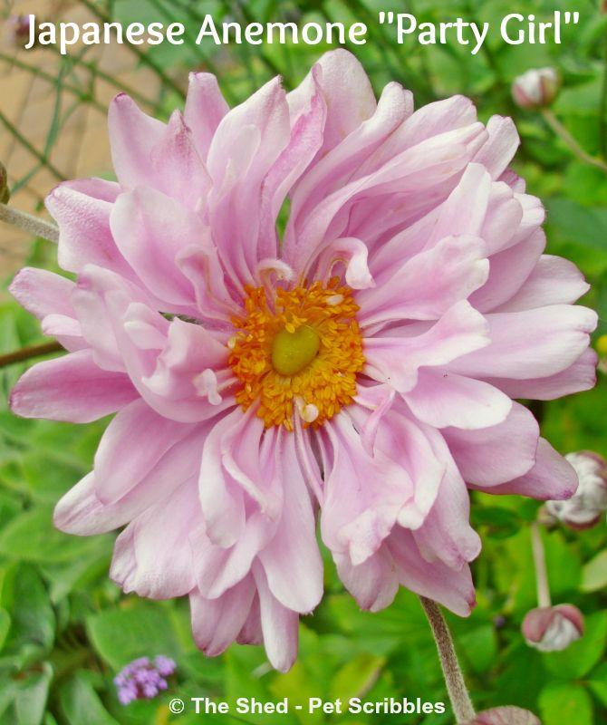 "Hometalk :: Japanese Anemone ""Party Dress"" - My Favorite Fall Flower!"