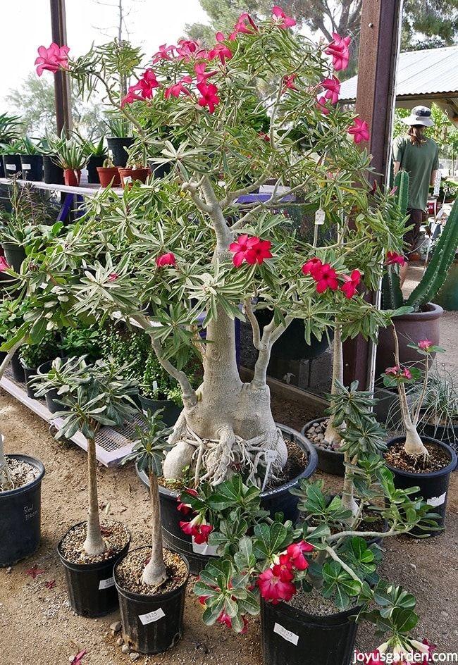 Repotting My Beautiful Adenium Desert Rose Joy Us Garden Adenium Desert Rose Care Desert Rose
