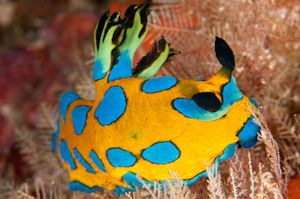 New Zealand's finest online nudibranch resource by Ian Skipworth.