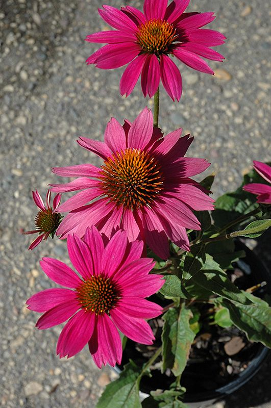 Click to view full-size photo of PowWow Wild Berry Coneflower (Echinacea purpurea 'PowWow Wild Berry') at Stein Gardens & Gifts
