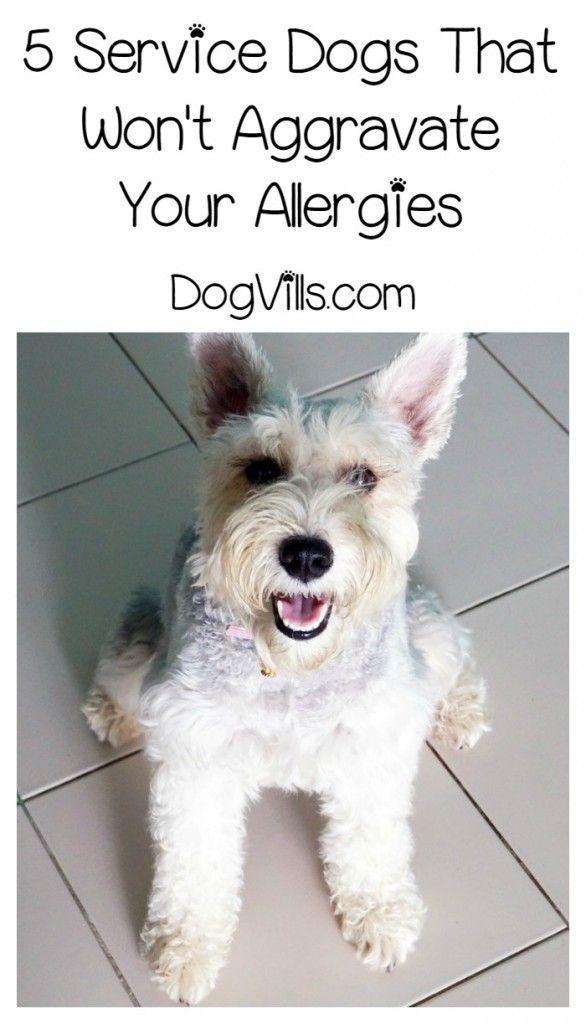 The Best Hypoallergenic Dog Breeds For Service Hypoallergenic