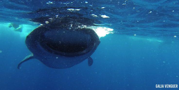 Tour del Tiburón Ballena – Holbox