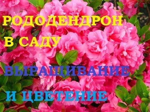 Рододендрон садовый вечнозеленый, выращивание и уход, цветение. Все о цветах , рассаде, урожае и способах выращивания орхидей.Здесь я делюсь своим опытом в в...