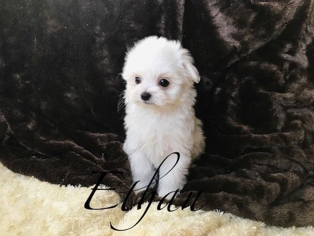 Maltese Puppy For Sale In Las Vegas Nv Adn 64146 On Puppyfinder