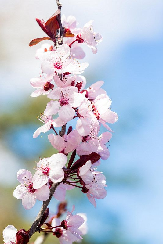 Blossoms awwwwwwwwww