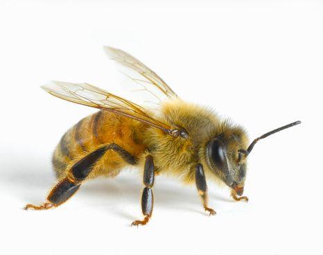 Stock Photo : Close-up of honey bee