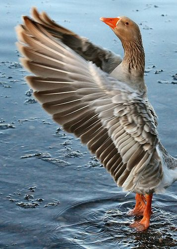 Greylag Goose species of the genus Anser. It was in pre-Linnean times known as the wild goose.