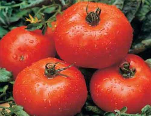 ace 55 tomatoes determinate
