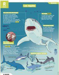 Les requins - Mon Quotidien, le seul site d'information quotidienne pour les 10 - 14 ans !