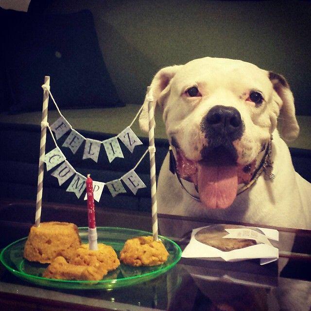 A Thor le celebraron su 6to cumpleaños la semana pasada y le llevaron una torta de Chacha y El Galgo para la ocasión  Nos dijo su mamá que ese día pasó feliz!  Que cumplas muchos más, Thor hermoso!  #PerroFeliz #chachayelgalgo #pasteleriacanina #paletasparaperros #amorperruno #mascotas #peluditos #perrosaludable #alimentacioncanina #YoCreoEnCali #cumpleañoscanino #cali #calico #colombia