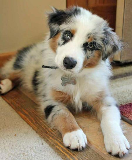 Bodie the Australian Shepherd-OH!! Be still my heart! Who can resist that little head tipped to the side!