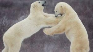 Rusia Para Ilmuan Dikepung Beruang Kutub