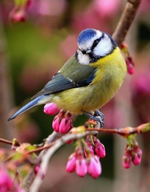 Blue Tit & Cherry Blossom by Brimack