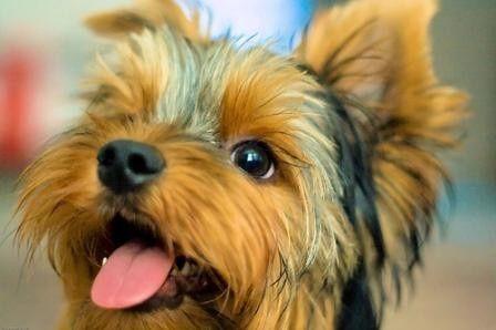 yorkies! yorkies!!  YORKIES!!!!  love them! diddlybob: Puppies, Yorkie, Pet, Gators Boys, Baby Boys, Yorkshire Terriers, Little Dogs, Furry Friends, Animal