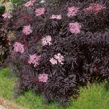 best 20 sambucus nigra black lace ideas on pinterest. Black Bedroom Furniture Sets. Home Design Ideas
