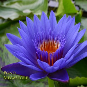 BLUE SPIDER WATERLILY: This water lily features impressive blue flowers outlined…