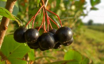 Aronia Berry Products