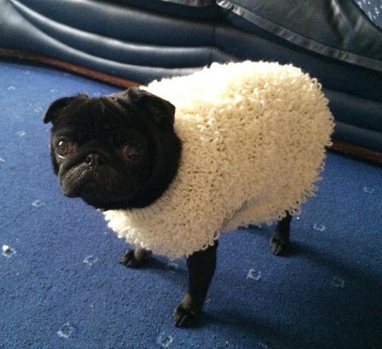 prestoncarbonaro:  Baa, baa, black pug, Have you any wool? :P